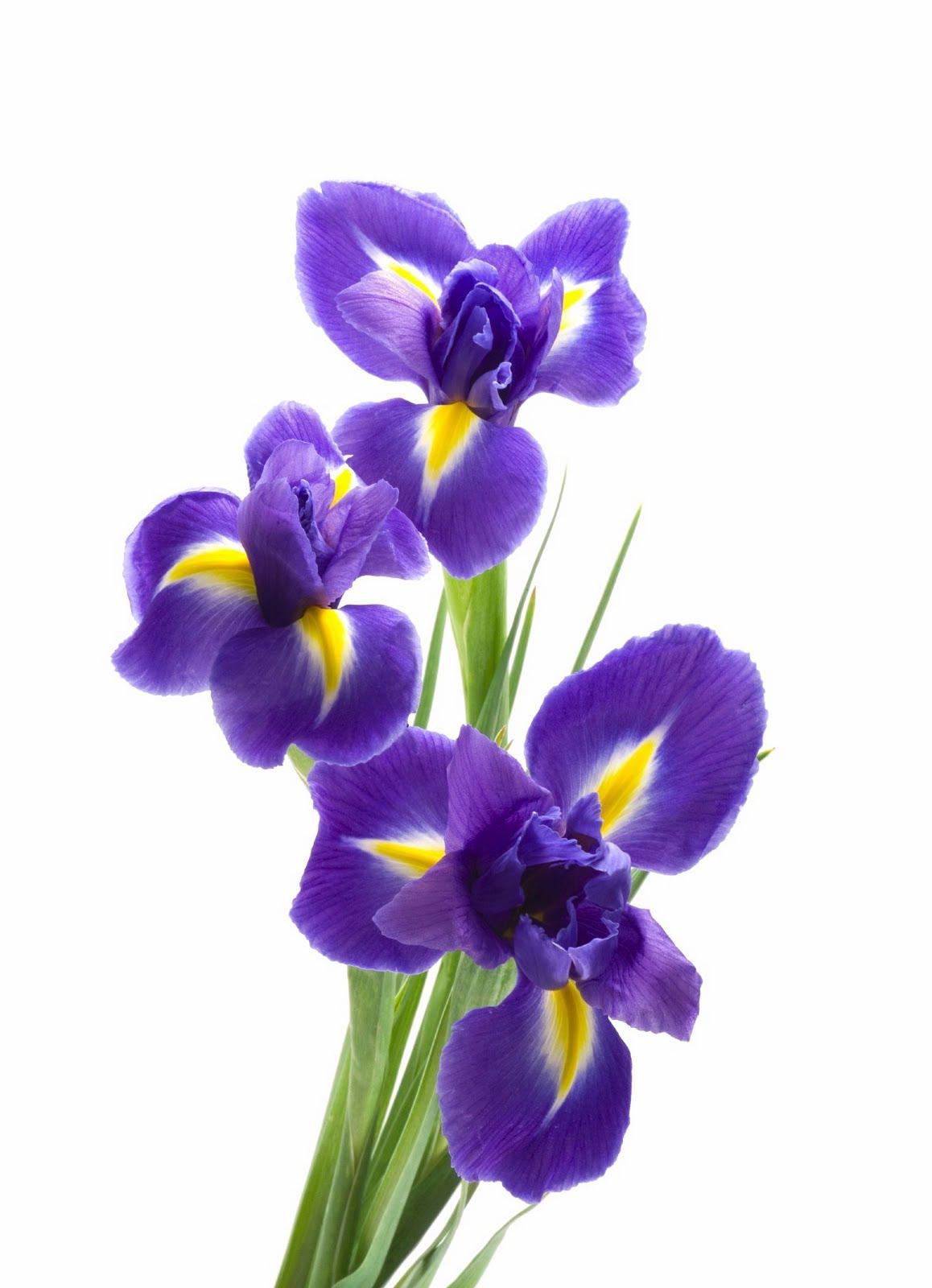 Flower Focus Iris
