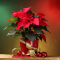 Poinsettias: How to pick the best