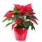 Flower Spotlight: Poinsettia