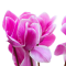 Flowers Focus: Cyclamen
