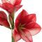 Flower Focus: Amaryllis