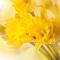 Flower Focus: Daffodil