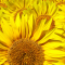 Ultimate guide to growing sunflowers