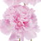 The January birth flower: Carnations