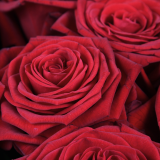 Serenata's Guide to Red Roses