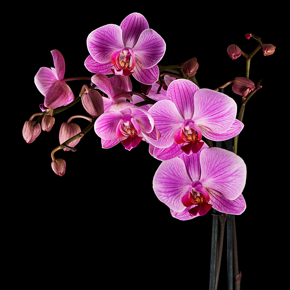 How To Care For Orchids Pollennation