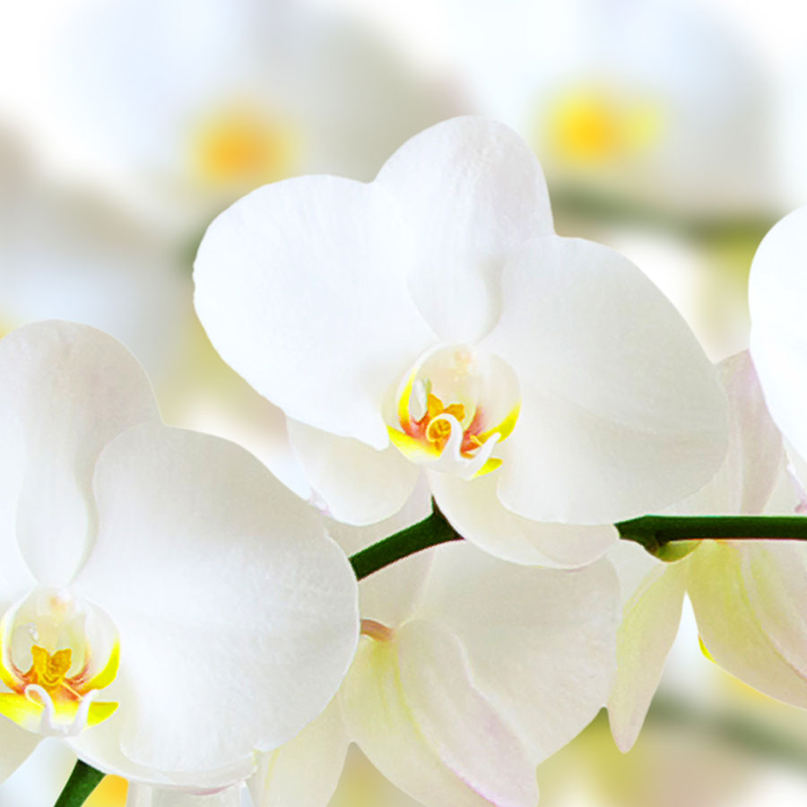 How to take care of your phalaenopsis orchid pollennation How do you care for orchids after they bloom