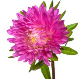 How to grow chrysanthemums in your garden